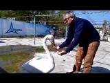 Обиженный пеликанами лебедь Жора пожаловался директору зоопарка