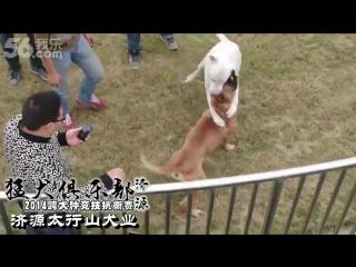 Gull Terr vs Presa Canario