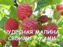 13.Малина.Как посадить малину без ошибок.