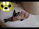 Порода кошек Скиф Той Боб. Дай Лапу