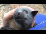 Летучая мышь пищит от щекотки - The bat squeaks from tickling