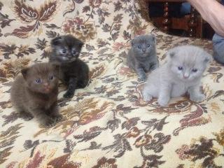 Шотландские #котята. Ударный отряд котят. Scottish #kittens. Kittens squad.