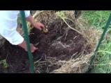 Когда она поместила картофель в солому, соседи рассмеялись. Но вскоре уже повторяли за ней!