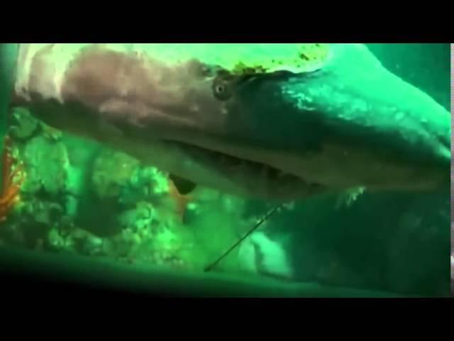 Акула просила помощи у людей Дайверы спасли акулу Редкие кадры1