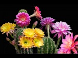 Beautiful blooming cactuscacti flower time lapse