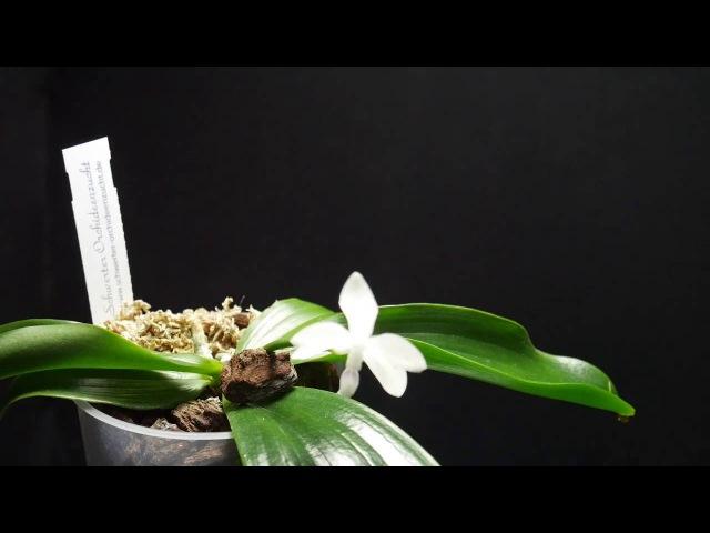 Орхидея. Ещё немного про орхидею p.tetraspis