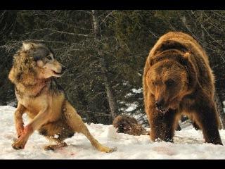 Зверский Бой Бурый медведь против стаи волков Видео 2015