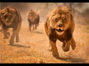 В поисках людоеда Нападения львов \ Nat Geo WILD HD