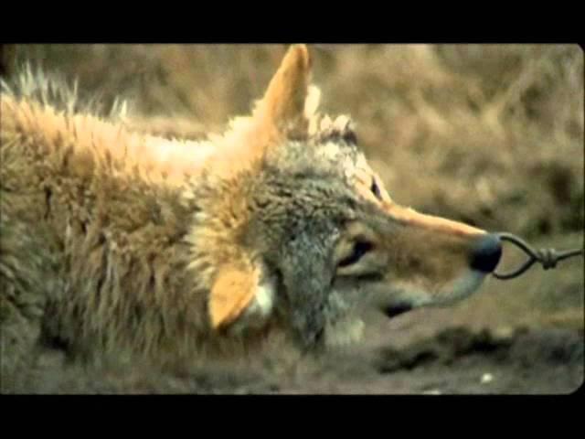 Кристина Прилепина – Попала лапа в капкан (Весьегонская волчица)