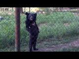Медведь Прогуливается Вдоль Забора ( Зоопарк )