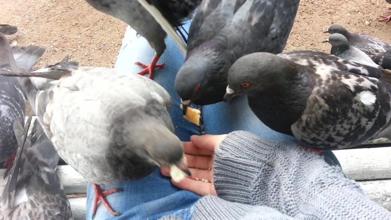Отака голубей)