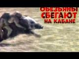 Обезьяны сбегают верхом на кабане ( APE escape riding on a boar)