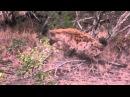 СУПЕРБОЙ. ЛЕОПАРД ПРОТИВ ГИЕНЫ. Leopard vs hyena.