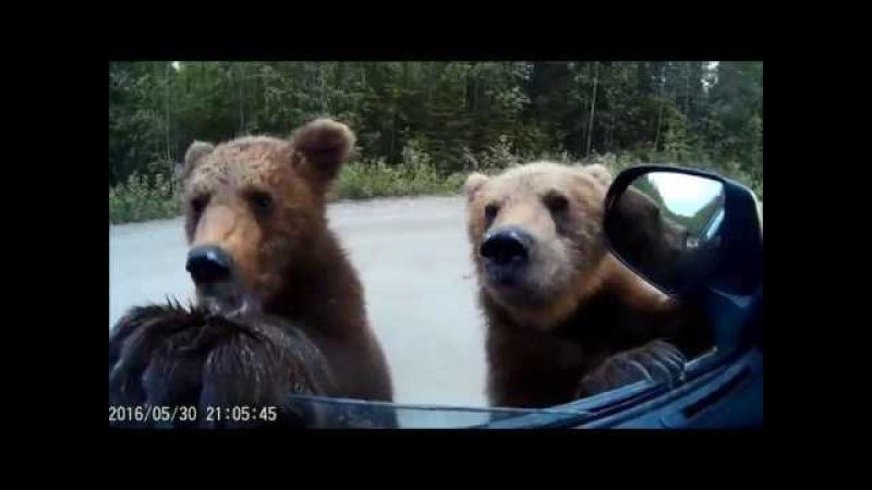 В Карелии водитель с семьей накормил медведей хлебом и творогом