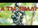 Черная смородина: борьба с вредителями без химии