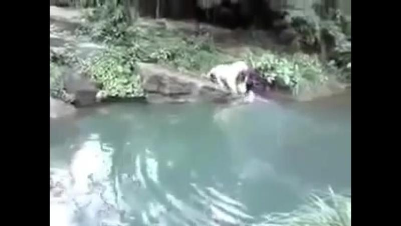 Человек напал на двух тигров...