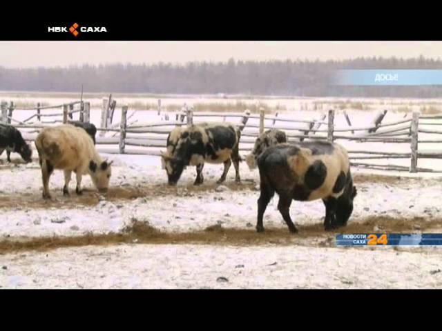 Прокуратура Усть-Алданского района провела проверку по факту массовой гибели скота в селе Хомустаах
