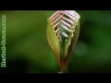 плотоядное растение Венерина мухоловка