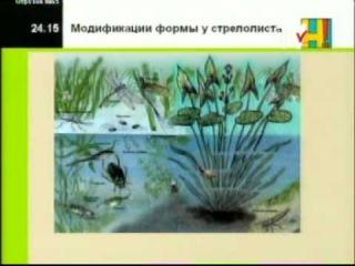 Биология 10 кл  Урок 24  Модификационная изменчивость