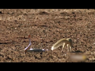 Трюки из матрицы от мангуста в борьбе против кобры