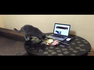 Как отучить кота ходить по столу, это действует