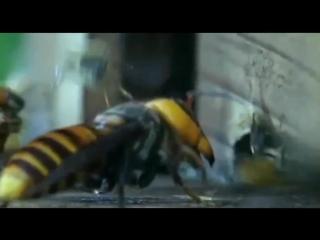 Эпическая битва пчёл и шершней, потрясающе! Epic Battle
