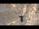 Удивительный медведь скалолаз
