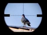 صيد الحمام بالسكتون (البندقية الهوائية)Air Rifle Hunting