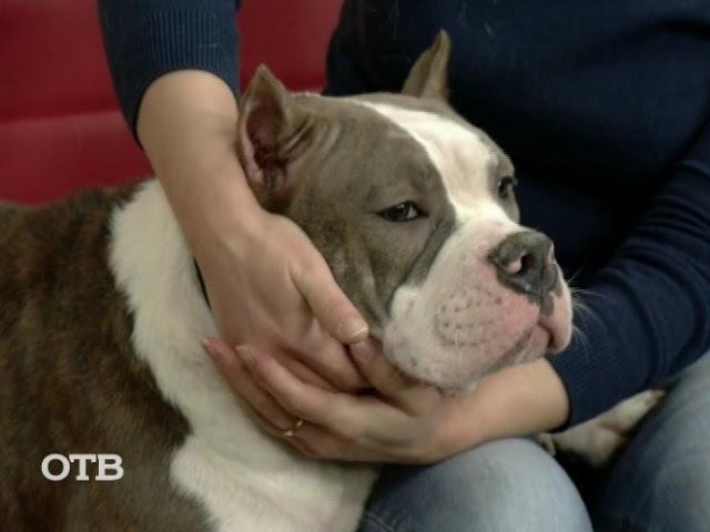 Знакомство с питомцами: собаки породы булли (18.01.16)