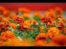 Бархатцы цветы которые лечат псориаз панкреатит нейродермит