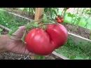 Сорта томатов для теплицы Сайт Садовый мир