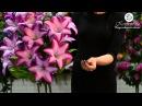 Цветы и букеты на сайте Kvitu! № 239 Букет лилия гигант, 80 см.
