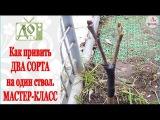 ПРИВИВКА плодовых деревьев. Как привить ДВА СОРТА на ОДИН СТВОЛ. Мастер-класс