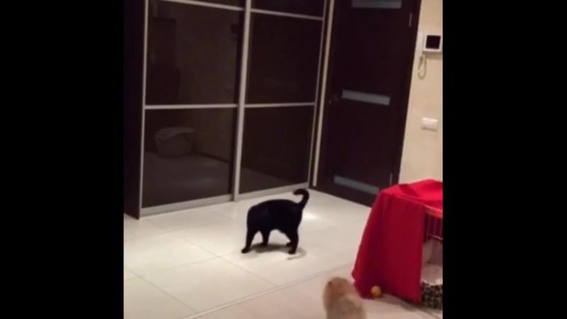 Топ-Доллс Лавли Оранж (Лавли) 3,5 мес. Лавли знакомится с котиком