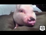 ТОП 10_ МИНИ-ПИГИ, мини свинки_)) НЕРЕАЛЬНО СМЕШНО! Карликовые свинки