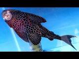 Аквариумные Рыбки. Сом Видео. Парчовый Сом. Аквариумные Сомы