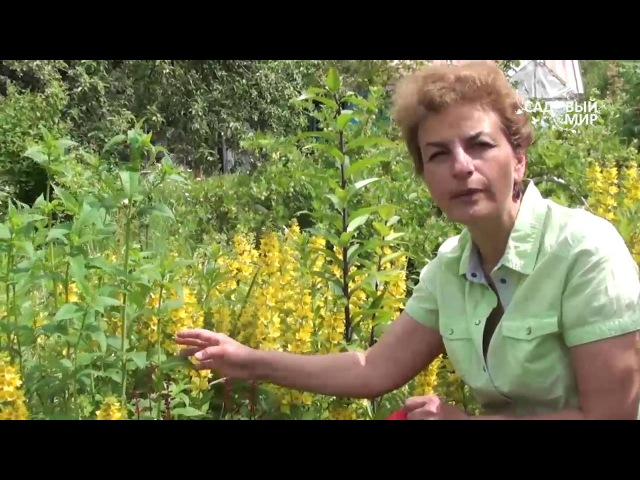 Неприхотливые растения для сада Вербейник точечный и др Сайт Садовый мир