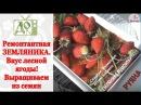 Ремонтантная ЗЕМЛЯНИКА. Вкус лесной ягоды! Выращиваем из семян.