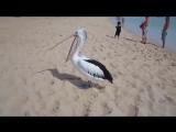 Вы когда-нибудь видели, как зевает пеликан