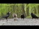 Videos for Cats and Dogs - Rooks Ducks and Squirrels