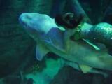 Русалка с Няшей во время шоу-программы в Адлерском океанариуме