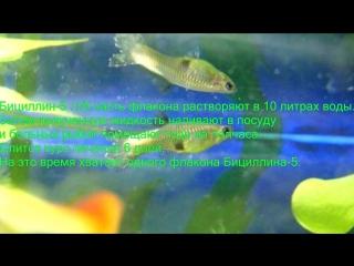 Лечение Плавниковой гнили у Аквариумных рыб- Treatment of Fin rot in Aquarium fish