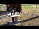 Весёлые козлята