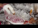 Пух для пуховиков. Birds Plucked Alive on Farms Linked to Responsible Down Suppliers