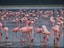 Чудеса Африки Восхитительные розовые фламинго Национальный парк озеро Накуру Кения