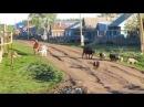 Утро в деревне. Выгон скота. Звуки природы. Хорошо летом. Поставьте памятник деревне