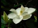 Магнолия крупноцветковая Magnolia grandiflora