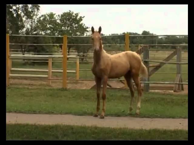 Небесные кони (Ахалтекинцы)