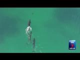Стая черных косаток устроила охоту на акулу