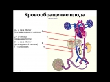 Кровообращение плода 311012.pptx